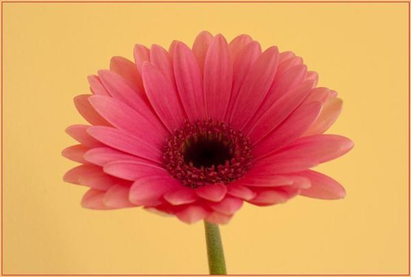 Pink by SteveH1978