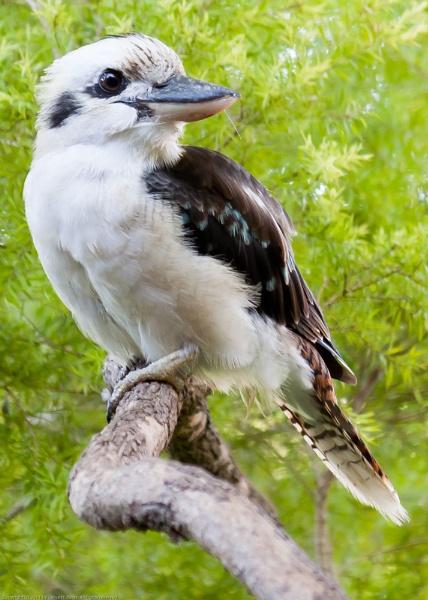 20110301 Kookaburra (Dacelo novaeguineae) by Degilbo