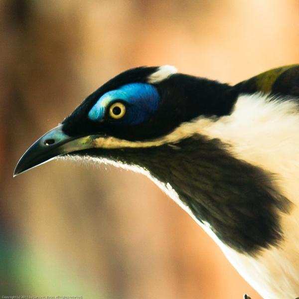 20110302 Blue-faced Honeyeater in profile by Degilbo