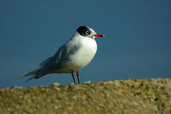Mediterranean gull by saltholme