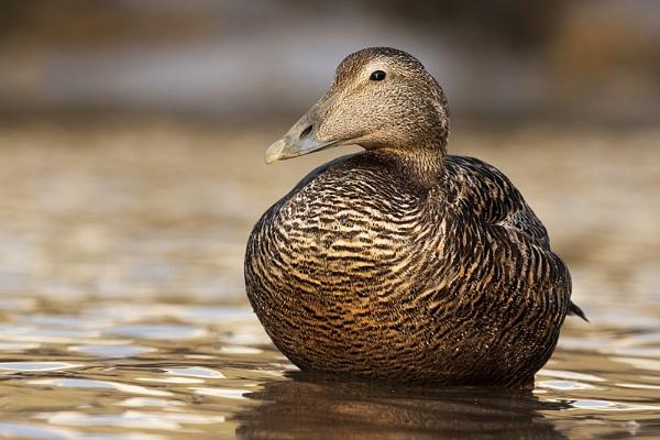 Eider Duck by Phil32