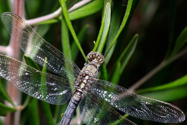 Dragonfly by bigredtim