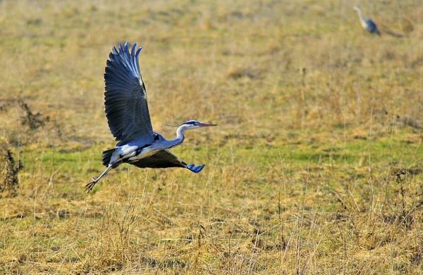 Grey heron taking off by gabriel_flr