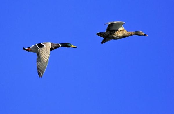 Flying ducks by gabriel_flr