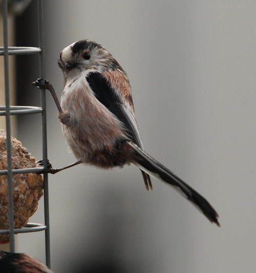 Long Tailed Tit by niksig