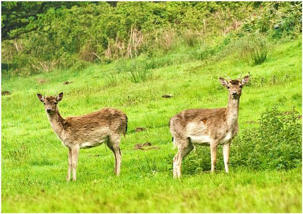 Deer Deer by achieverswales