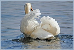 Just A Swan