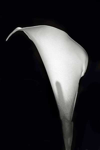 Calla Lily by crazylady