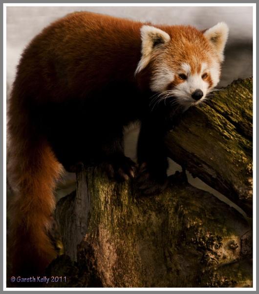 Red Panda by frispy