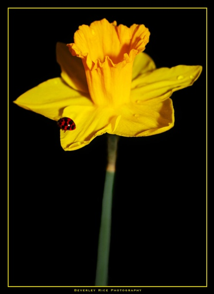 Lady on a Daff by BevRice