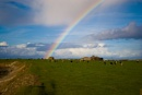 Rainbow over a field of cows