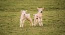 spring lambs by kamickazi