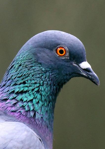 Rock Pigeon (Columba livia) by maheshguild