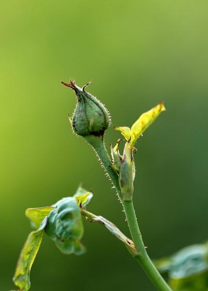 Rose Bud -- Backlit by maheshguild