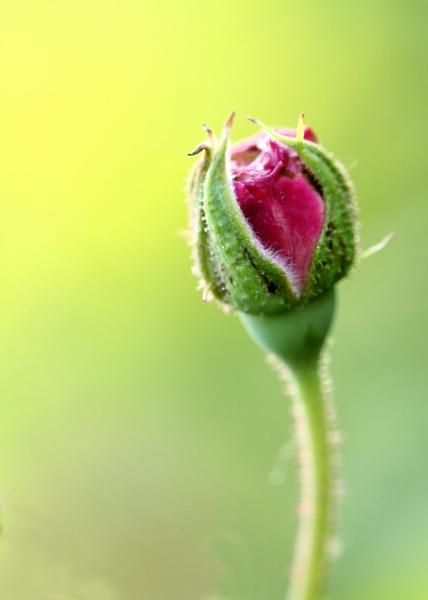 Rose Bud by maheshguild