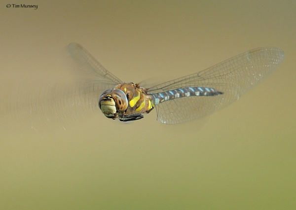 Migrant Hawker eye view by TimMunsey
