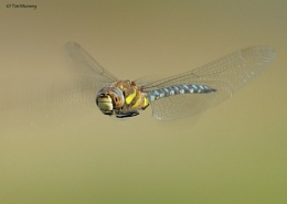 Migrant Hawker eye view