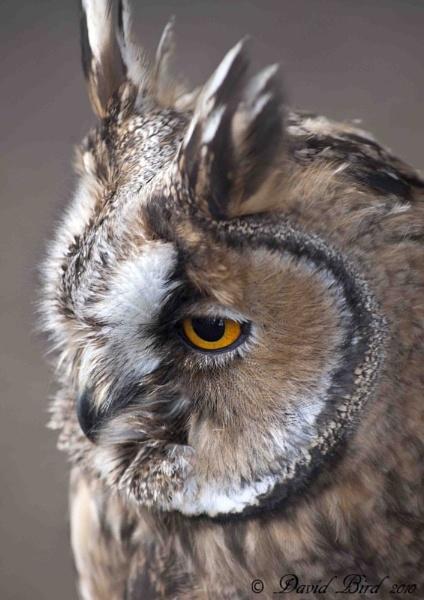 Long Eared Owl by DavidBird
