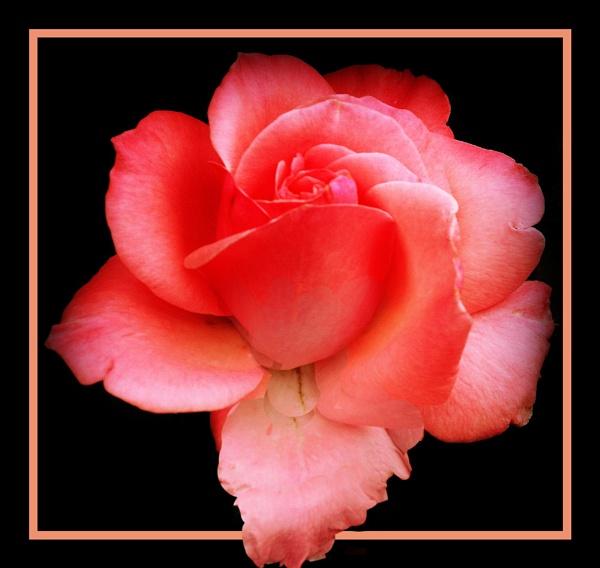 Pink by dawnmichelle