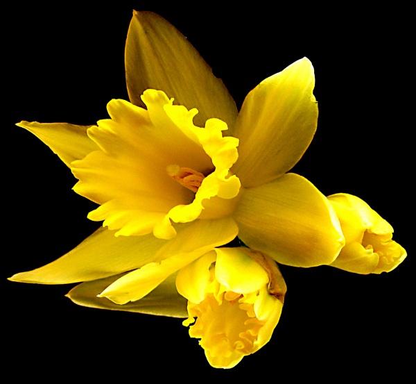 Daffodil by derekv