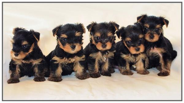Toby and Tara\'s Pups by jackitec