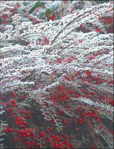 WINTERBERRIES by REDWOLF