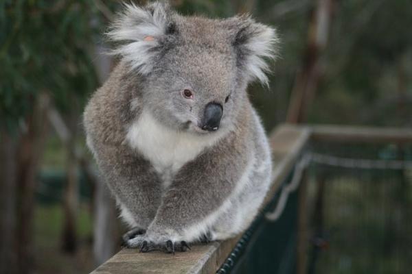 Koala Phillip Island by Robyn2012