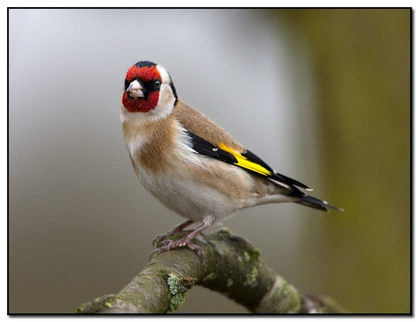 Goldfinch by VidB