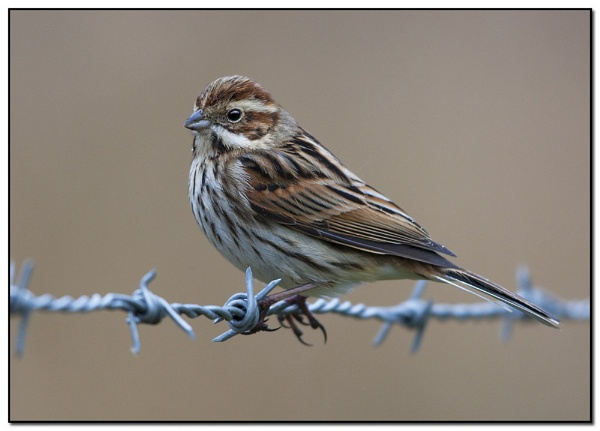 Female Reed Bunting by VidB