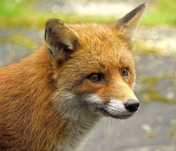 fox by sparrowhawk