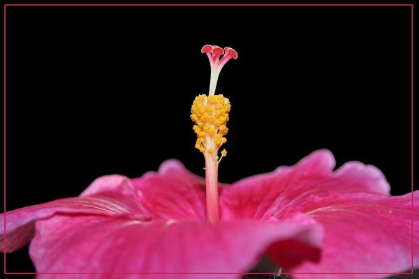 Shoeflower by pingreek