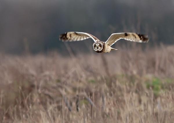 Short-eared Owl by Dreameruk