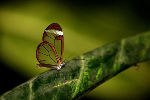 Glasswing Butterfly by bridge99