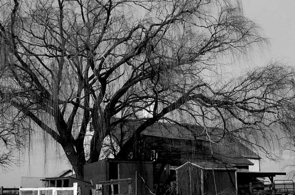 Tree-Lancaster County, PA by SJAlfano