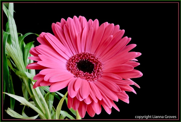 Another Gerbera by lianna