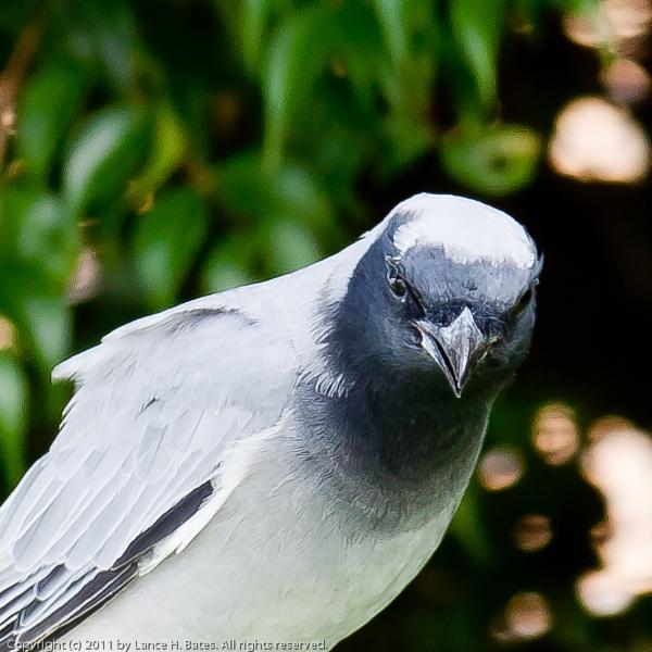 20110306 Black-faced Cuckoo-shrike (Coracina novaehollandiae) by Degilbo