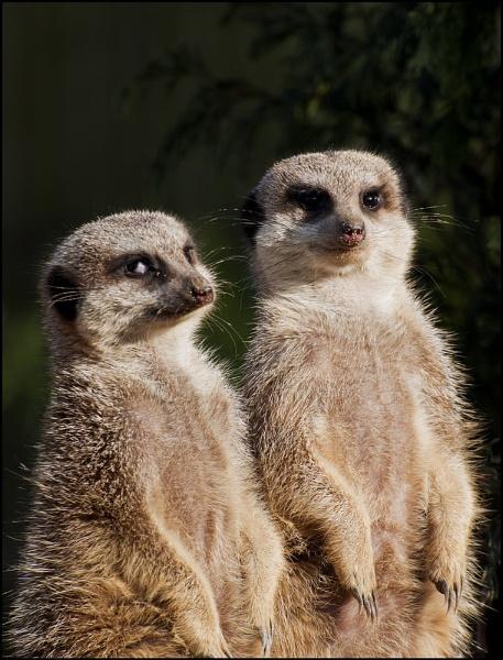 Meerkats by beN86