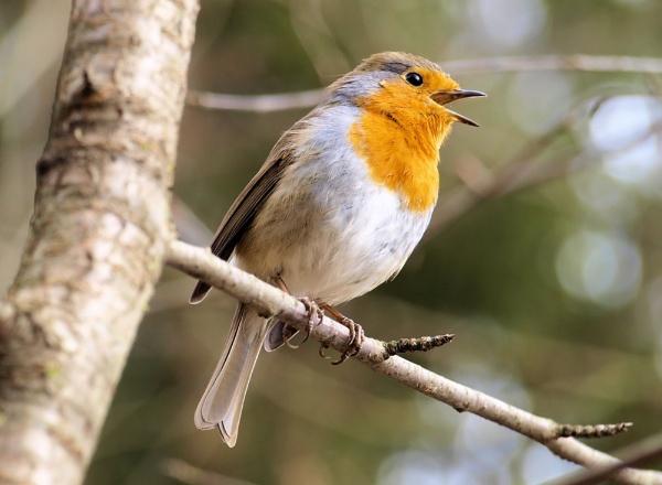 singin\' robin by gabriel_flr