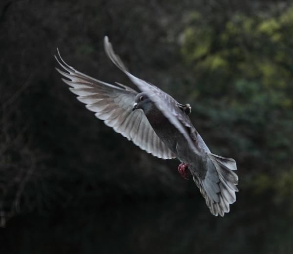 St James Park Pigeon by ambercat