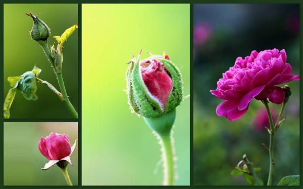 Rose - Montage by maheshguild