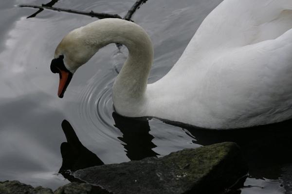 Swan by jimbob5643