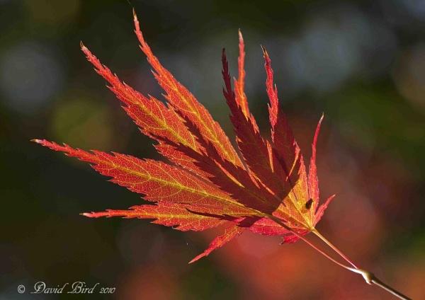 Acer leaf by DavidBird