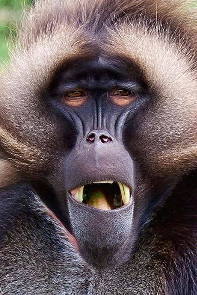 Baboon by rogharrison