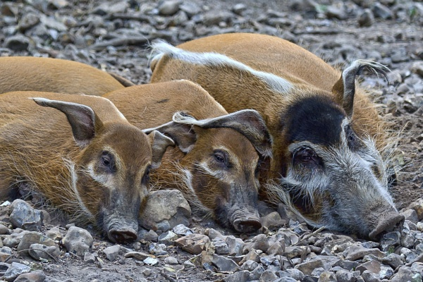 Red River Hogs by rogharrison