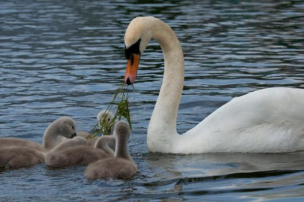 Swan Feeding Cygnets by rogharrison