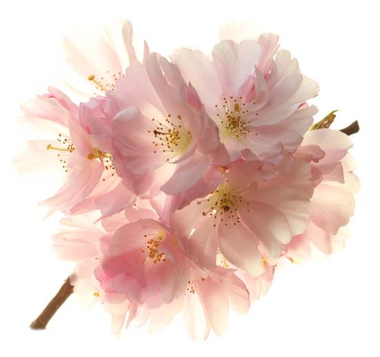 Blossom by brianhaslam