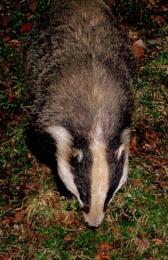 BadgerBadger