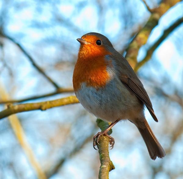 Cocky Robin by Trev_B