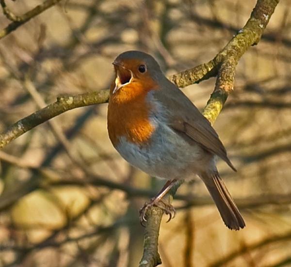 Cocky Robin\'s A Rockin by Trev_B