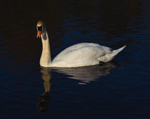 Swanning Around by Trev_B